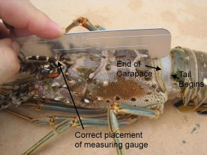 Legal Lobster size
