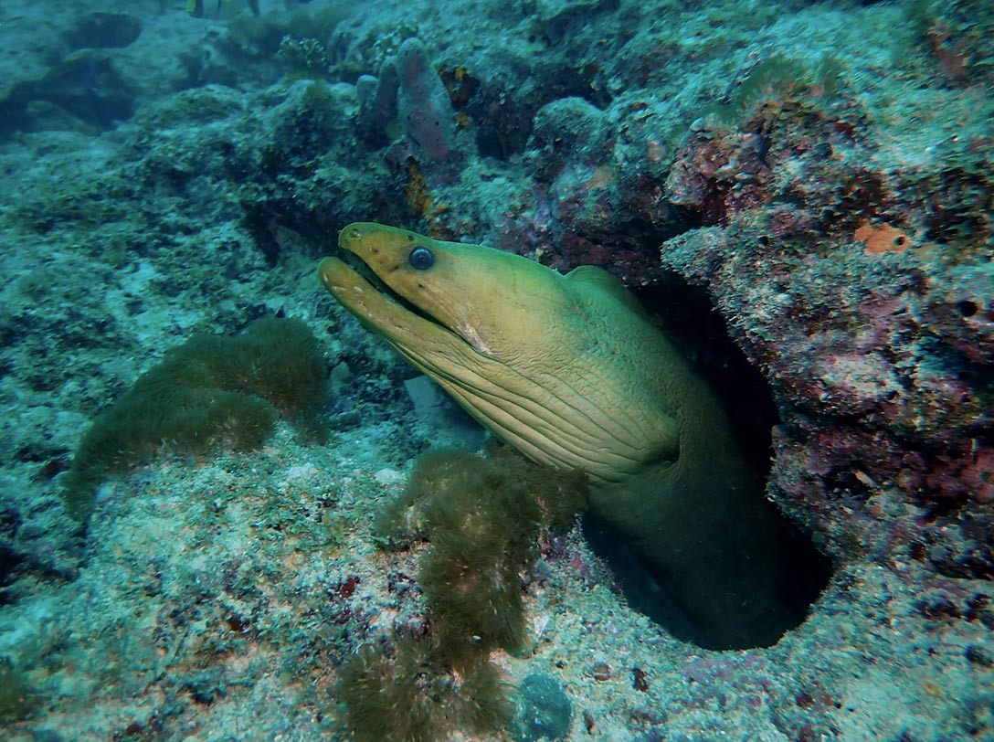 Moray Eel as seen on a reef dive in Fort Lauderdale, FL with Sea Experience.